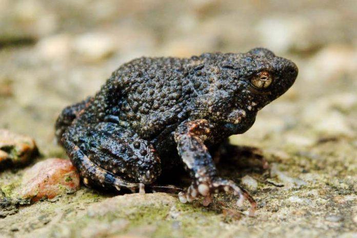 A túngara frog, Photo Paul Hoskisson